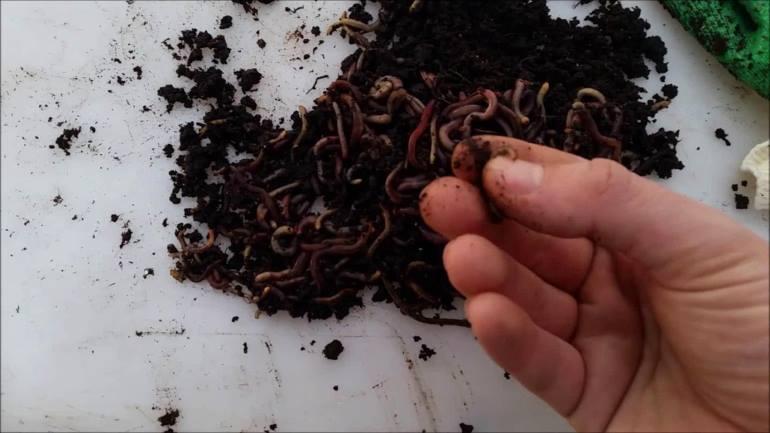 Выращивание черви 61