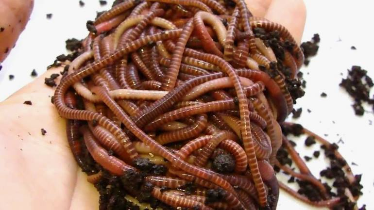 врасплох к чему снятся червяки в своем теле леденец. Это можно