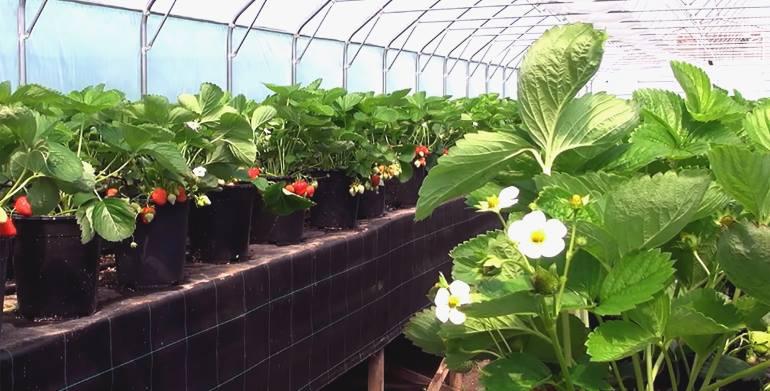 Выращивание клубники в теплице - сладкий бизнес