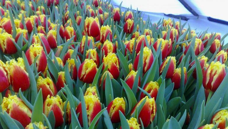 Выращивание тюльпанов на продажу как бизнес
