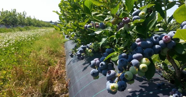 Выращивание голубики как бизнес