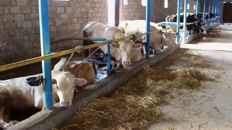 Выращивания и откорм крупного рогатого скота как бизнес